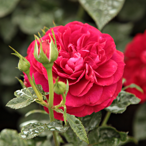 Bordeaux ® - red - bed and borders rose - floribunda