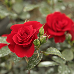 Roter Korsar ® - red - park rose