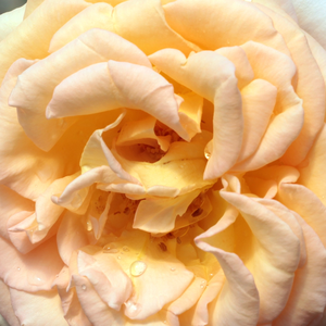 Roses Online Delivery - hybrid Tea - yellow - Scented Memory™ - discrete fragrance - L. Pernille Olesen,  Mogens Nyegaard Olesen - -