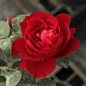 Look Good Feel Better™ - red - bed and borders rose - floribunda