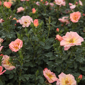 Pink, apricot shading - ground cover rose