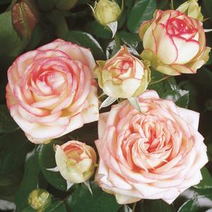 wei rosa zwergrosen rosa biedermeier rosen online bestellen unsere produkte. Black Bedroom Furniture Sets. Home Design Ideas