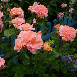 Apricot-yellow - nostalgia rose