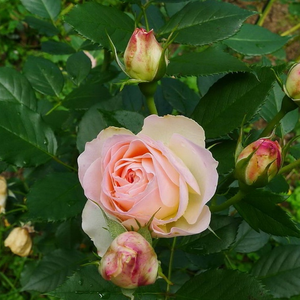 Pastella® - white - pink - bed and borders rose - floribunda