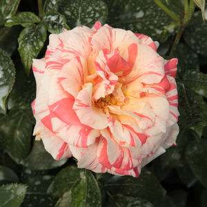 Red - white - hybrid Tea