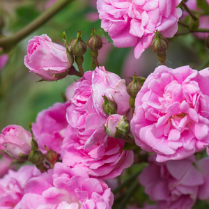 Superb Dorothy - pink - rambler, rose
