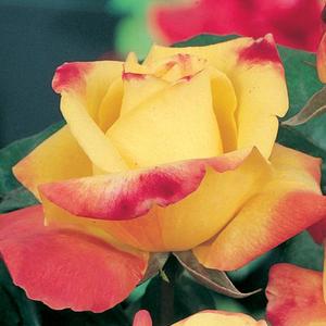96633021f0 Sárga, rózsaszín szegéllyel - Horticolor - rózsa webáruház ...