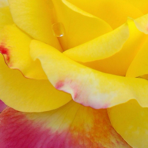 Shop Rose - Giallo - Rosa - Rose Ibridi di Tea - - - Horticolor - Louis Laperrière - -