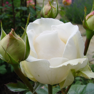 Métro - white - hybrid Tea