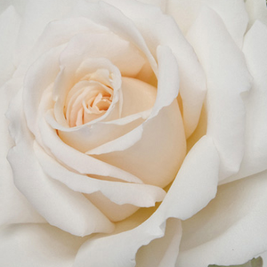 Roses Online Delivery - White - hybrid Tea - moderately intensive fragrance -  Métro - Samuel Darragh McGredy IV - -
