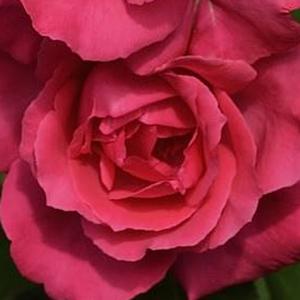 0b63f7242b21b1 Rosiers hybrides de thé - rosier achat en ligne - Mullard Jubilee ...