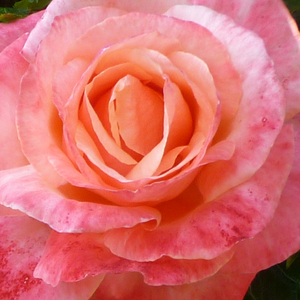 Rose Shopping Online - Pink - hybrid Tea - discrete fragrance - Silver Jubilee - Anne G. Cocker - -