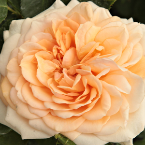 Roses Online Delivery - Pink - english rose - moderately intensive fragrance -  Ausjolly - David Austin - -