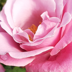 Buy Roses Online - Pink - hybrid Tea - intensive fragrance -  Barbra Streisand - Tom Carruth - -