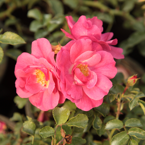 Pink - ground cover rose