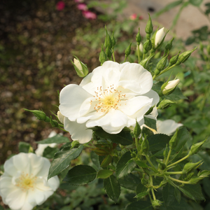 White Flower Carpet - white - ground cover rose