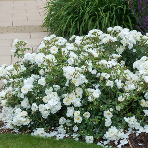White - ground cover rose
