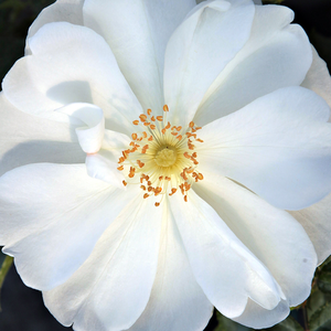 Rose Shopping Online - White - ground cover rose - intensive fragrance - White Flower Carpet - Werner Noack - -