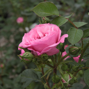 Rosa Abrud - rose - buissons