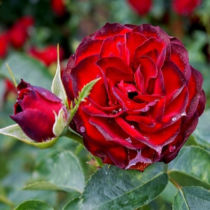 A pesti srácok emléke - red - bed and borders rose - floribunda