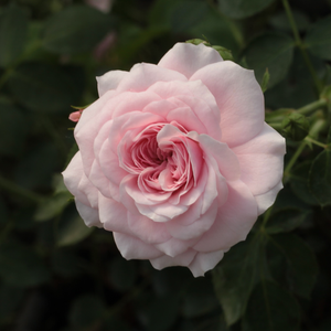 Pink - white - ground cover rose