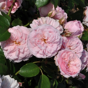 Rose Shopping Online - Pink - ground cover rose - - - Blush™ - PhenoGeno Roses - -