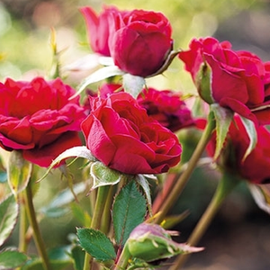 Mauve™ - red - ground cover rose