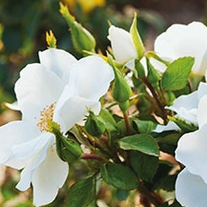 Milly™ - white - bed and borders rose - polyantha