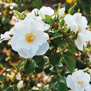 White - bed and borders rose - polyantha