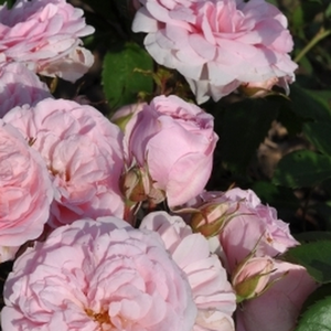 Rosa Blush™ Winterjewel® - rose - rosier nostalgique