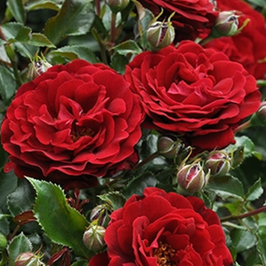 Red - bed and borders rose - polyantha