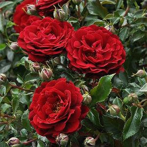 rosa rot rosen bestellen roses online shop beetrosen pharmarosa. Black Bedroom Furniture Sets. Home Design Ideas