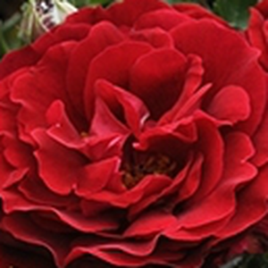 Buy Roses Online - Red - bed and borders rose - polyantha - discrete fragrance - Draga™ - PhenoGeno Roses - -