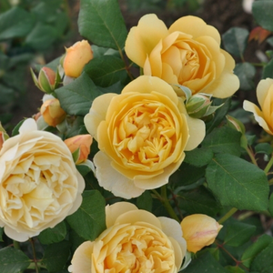 Yellow - bed and borders rose - floribunda