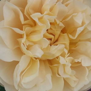 Roses Online Delivery - Yellow - bed and borders rose - floribunda - moderately intensive fragrance -  Olivera™ - PhenoGeno Roses - -