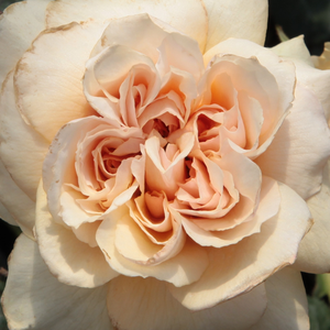 Rose Shopping Online - Orange - bed and borders rose - floribunda - intensive fragrance - Jelena™ - PhenoGeno Roses - -