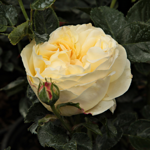 Lemon™ - yellow - bed and borders rose - floribunda