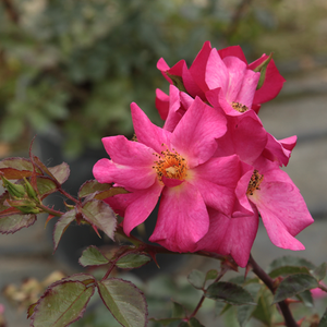 Barbie™ - pink - bed and borders rose - polyantha