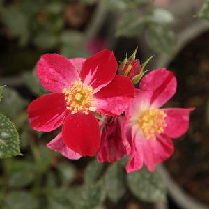 Ruby™ - red - bed and borders rose - polyantha